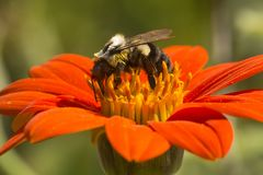 Hummel, die auf einer hellen roten Dahlienblume herumsucht lizenzfreies stockbild