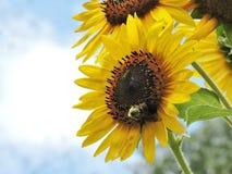 Hummel, die auf einer Sonnenblume stillsteht Lizenzfreie Stockbilder