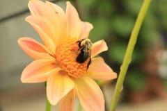 Hummel, die Blütenstaub auf einer Dahlienblume sammelt Stockbild