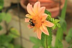 Hummel, die Blütenstaub auf einer Dahlienblume sammelt Stockfoto