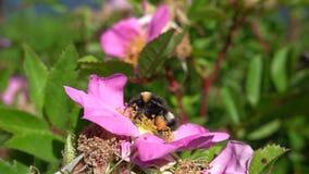 Hummel, die Blütenstaub sammelt stock footage