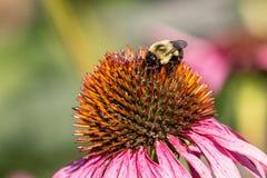 Hummel, die eine Blume an einem schönen Tag bestäubt lizenzfreie stockfotografie