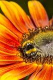 Hummel, die eine Sonnenblume erntet Stockbild