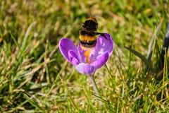 Hummel, die im Frühjahr von einem Krokus abfährt lizenzfreies stockfoto