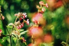 Hummel, die nahe schönen rosa Blumen in den sonnigen Bergen fliegt Stockbilder