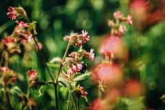 Hummel, die nahe schönen rosa Blumen in den sonnigen Bergen fliegt Lizenzfreies Stockbild