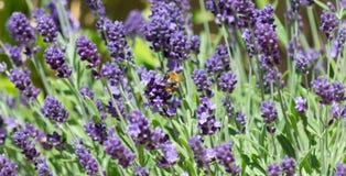 Hummel, die Nectar From Lavender erfasst Lizenzfreies Stockfoto