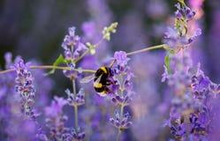 Hummel, die Nektar und Blütenstaub vom purpurroten Lavendel sammelt Lizenzfreie Stockfotografie