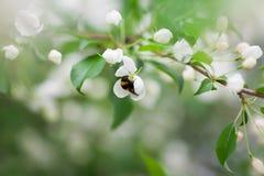 Hummel, die oben Blütenstaub auf Blume, Abschluss sammelt Stockfotografie