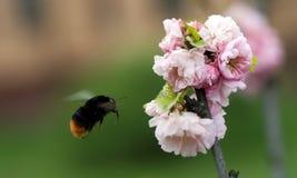 Hummel, die zur Mandelblume fliegt Lizenzfreie Stockfotos