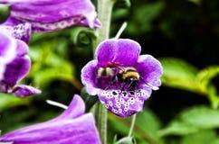 Hummel in einer Blume Stockbild