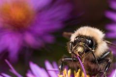 Hummel extrahiert Blütenstaub von der purpurroten Asterblume lizenzfreie stockfotografie