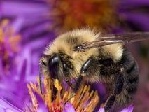 Hummel extrahiert Blütenstaub von der purpurroten Asterblume stockbild