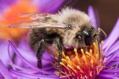 Hummel extrahiert Blütenstaub von der purpurroten Asterblume Stockfotos