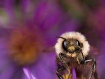 Hummel extrahiert Blütenstaub von der purpurroten Asterblume Stockbilder