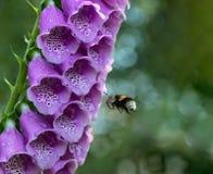 Hummel fliegt bis zu einem purpurroten Blume Fingerhut Lizenzfreie Stockbilder