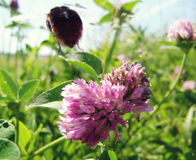 Hummel fliegt von der Blume Lizenzfreie Stockbilder