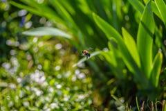 Hummel im Flug verschoben durch Garten Lizenzfreie Stockfotografie