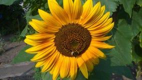 Hummel na słoneczniku zdjęcie royalty free
