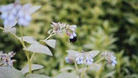 Hummel sammelt Blütenstaub von den Blumen in der Wiese Nette Nahaufnahme wildnis stock video footage