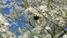 Hummel sammelt Blütenstaub von den Blumen des Apfels stock video