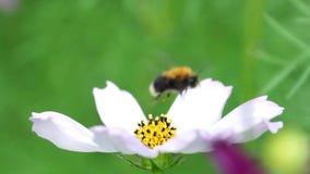 Hummel sammelt das cosmea weiße Blume des Nektars stock video footage