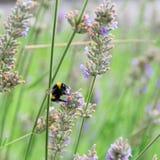Hummel sammelt Nektar auf Lavendel Stockbild