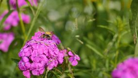 Hummel sammelt Nektar auf rosa Blume stock footage
