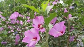 Hummel sammelt Nektar von den hellen Blumen von Hibiscusen stock video