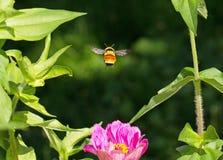 Hummel und eine Blume Stockfoto