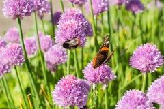 Hummel und Schmetterling des roten Admirals auf Schnittlauch blüht, Makro Stockbild