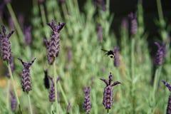 Hummelbesuch zum Lavendel Stockfotografie