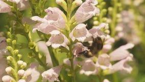 Hummelbiene, die Nektar sammelt und Blumen bestäubt stock video footage