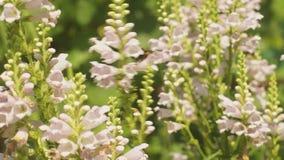 Hummelbiene, die Nektar sammelt und die Blumen im Garten bestäubt stock video