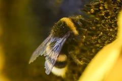 Hummelbiene sammelt Blütenstaub von einem gelben Sonnenblumensommermac stockfotografie