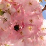 Hummelfliegen auf Blume lizenzfreie stockfotografie