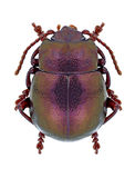 Hummelii Timarcha жука Стоковая Фотография RF