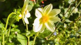 Hummellandung auf einer Blume stock video footage