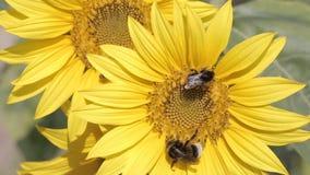 Hummeln auf einer Sonnenblume stock video