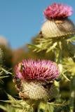 Hummeln auf Mariendistelblumen Lizenzfreies Stockbild