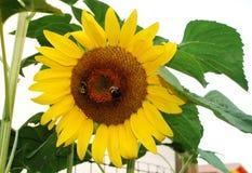 Hummeln auf Sonnenblume Lizenzfreie Stockfotos