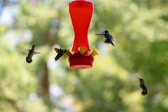 Hummer 1. Frenzy feeding by hummers Stock Images