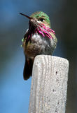 Hummer 3. Hummingbird Royalty Free Stock Image
