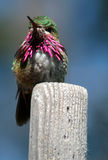 Hummer 4. Hummingbird Stock Images