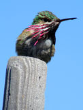 Hummer 6. Hummingbird Royalty Free Stock Photo