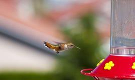 Hummer affamato Fotografia Stock Libera da Diritti