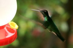 Hummer Approaching Feeder Royalty Free Stock Image