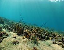 Hummer auf Korallenriff Stockbilder