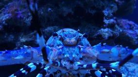 Hummer eller krabba med fläckar i akvariet, längd i fot räknat arkivfilmer