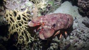Hummer för häftklammermatare för Scyllarides haanii puckelryggig på havsbotten av Röda havet stock video